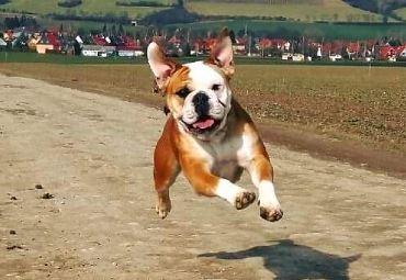 Springender Hund auf Feldweg. Im Hintergrund sind Häuser und Ackerland.